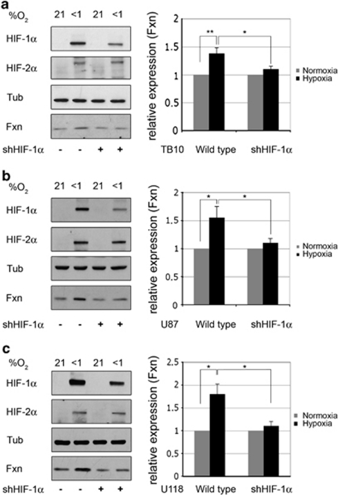 HIFs mediate hypoxia-induced frataxin upregulation. Left panels: human glioblastoma cells TB10 (a), U87 (b) and U118 (c) wild type or stably interfered for HIF-1α (shHIF-1α) were exposed to severe hypoxia for 18 h and frataxin (Fxn), tubulin (Tub), HIF-1α and HIF-2α expression analyzed. Data are representative of four, three and three independent experiments for TB10, U87 and U118 cells, respectively. Right panels: densitometric quantification of frataxin upregulation. Frataxin expression was normalized with tubulin and frataxin expression in normoxia set to one. Data represent the mean±1 S.E.M. from the different independent experiments performed for cell lines described in left panels. P-values were calculated with Student's t-test: *P<0.05; **P<0.01