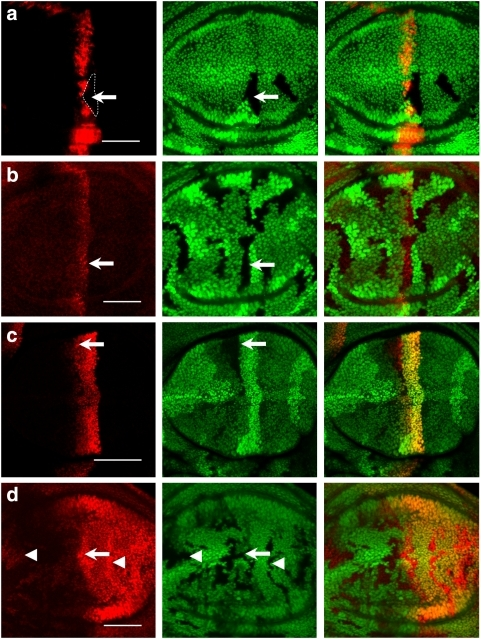 The CSN differentially regulates Hh downstream gene expression.(a) A CSN4 clone (indicated by the dashed outline) is generated in dpp-lacZ wing discs. dpp-lacZ expression detected by anti-β-gal antibody (red) is markedly repressed in CSN4 cells (arrow). (b) CSN5 clones indicated by the absence of GFP are generated in wing discs. Ptc (red) protein level in CSN5 cells (arrow) detected by the monoclonal antibody Apa-1 is similar to that in wild-type cells. (c) ptc-lacZ staining (red) is comparable in wild-type and CSN5 cells that are marked by the absence of GFP (arrow). (d) En protein levels (red) are increased in the CSN5 cells (arrow) located in the A/P boundary as well as in the A and P compartments (arrowheads). Scale bars in all panels represent 50 μm.