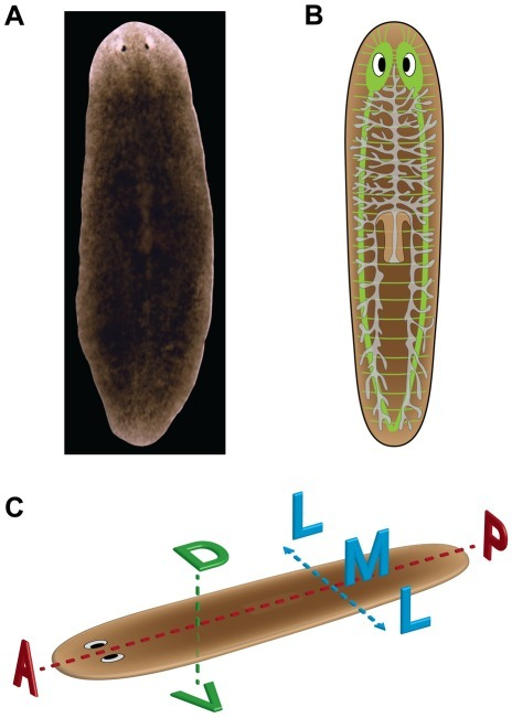Planarian Anatomy And Body Axesa Dorsal Side Of The Open I