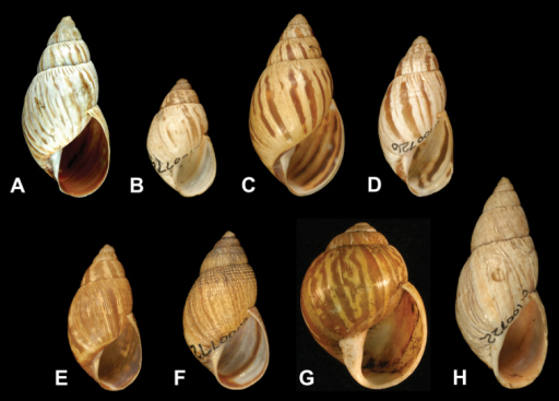 A–E Species complex of Bothriembryon kingii (J.E. Gray, 1825) A Lectotype of Helix trilineata Quoy and Gaimard, 1832, MNHN 24642 (H = 27.1) Photo: P. Maestrati B Lectotype of B. physoides humilis Pilsbry, 1900 AM C100774 (H = 17.2) CB. jacksoni Iredale, 1939, syntype, AM C100725 (H = 27.2) DB. notatus Iredale, 1939, syntype, AM C100726 (H = 23.6) EB. revectus Iredale, 1939, syntype, AM C100723 (H = 21.8) FB. richeanus Iredale, 1939, syntype, AM C100772 (H = 23.4) GB. perobesus Iredale, 1939, holotype, WAM S14467 (H = 24.2) HB. sayi (Pfeiffer, 1847), syntype of B. kingii solidus Pilsbry, 1900, AM C100722 (H = 31.8).