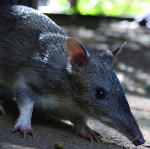 Long-nosed bandicoot (Perameles nasuta). Photograph courtesy of Taronga Zoo, Sydney, New South Wales, Australia.