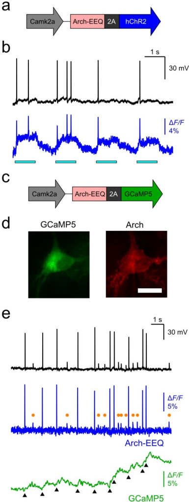 Bicistronic constructs expressing Arch-EEQ with either ChR2 or GCaMP5 enabled voltage imaging in combination with either optogenetic control or calcium imaging.(a) Schematic of the Arch-2A-hChR2 construct. (b) The Arch-2A-hChR2 construct enabled all-optical stimulation and readout of neurons. We imaged neurons transfected with the Arch-2A-hChR2 construct and simultaneously measured the transmembrane potential (black trace) and Arch fluorescence (blue trace). Photoexcitation of ChR2 (horizontal cyan bars; λ = 488 nm, 4 mW/mm2) elicited spikes in both the optical and electrical measurements. (c) Schematic of the Arch-2A-GCaMP5 construct. (d) We observed neurons transfected with the Arch-2A-GCaMP5 construct by simultaneously imaging GCaMP5 fluorescence (green channel, cytosol localized) and Arch fluorescence (red channel, membrane localized). Scale bar is 20 µm. (e) The Arch-2A-GCaMP5 construct enabled simultaneous measurements of voltage (blue trace) and intracellular calcium (green trace). Although action potentials were apparent in both the Arch and GCaMP5 signals (black triangular markers in the GCaMP5 trace; λ = 488 nm excitation, I = 10 mW/mm2), Arch signals were far superior in reporting brief, sub-threshold depolarizations (orange circles in the Arch trace). The fluorescence imaging rate was 440 Hz, and the illumination intensity for Arch excitation (λ = 633 nm excitation) was 1400 mW/mm2 for all panels.