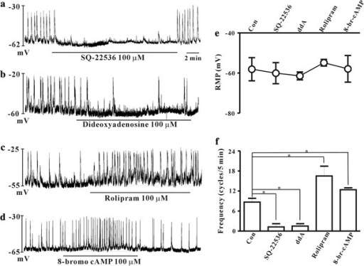 Effects of cAMP-related drugs on the spontaneous pacemaker potentials in cultured ICCs of the mouse colon. SQ-22536 (100 μM) (a) and dideoxyadenosine (100 μM) (b), both adenylate cyclase inhibitors, decreased the frequency of pacemaker potentials. Whereas rolipram (100 μM) (c), a cAMP specific PDE 4 inhibitor, and cell permeable 8-bromo-cAMP (100 μM) (d) increased the frequency of pacemaker potentials. The effects of these drugs on pacemaker potentials are summarized in e and f. Bars represent mean ± SE values (p < 0.05) con control, ddA didoxyadenosine