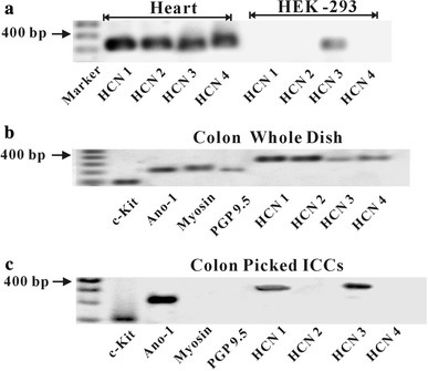RT-PCR detection and expression of hyperpolarization-activated cyclic nucleotide (HCN) channels protein in cultured ICCs of mouse mid colon. Mouse heart and HEK-293 cells were used as positive and negative controls (a). Four HCN channel subtypes (HCN1–HCN4) were amplified in whole mounted cultured cells from mouse colon (b). However, only the HCN1 and HCN3 channel subtypes were amplified in c-kit and Ano1 positive cultured colonic ICCs (c)