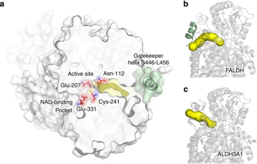 An additional gatekeeper helix constrains substrate specificity by restricting the substrate binding funnel.(a) Cross section through the active site of FALDH. The NAD-binding pocket and the substrate funnel positioned on opposite sides of the enzyme and merge in its central active site. Active site residues are indicated in red (Asn-112, Glu-207, Cys-241 and Glu-331). The electron density found in the substrate funnel is indicated in yellow. The electron density mesh was generated at 1.2 sigma within 1.6 Å around a hexadecanoic acid molecule, which was previously modelled into the electron density. The gatekeeper helix, covering the substrate funnel entrance is shown in green. The substrate funnels of (b) FALDH and (c) ALDH3A1 (3sza) were characterized using the MOLE toolkit for PyMOL. While in FALDH, the additional gatekeeper helix (shown in green) creates a kink in the channel (shown in yellow), the wide, linear arrangement of the substrate funnel entrance of ALDH3A1 is not restricted.