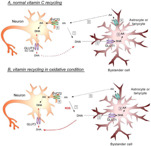 Vitamin C recycling and proposed interaction between neurons and astrocytes in normal or oxidative stress conditions of the brain. AUnder physiological conditions, reactive oxygen species (ROS) are constantly generated in the CNS. In these conditions, ROS oxidizes AA to DHA (A1), which preferentially enters the astrocyte by GLUT1 (A2). Inside the astrocyte, DHA is again reduced to AA (A3), and is then released into the extracellular space by a yet unknown mechanism (A4). The extracellular AA then enters the neuron via SVCT2 (A5/6), exerting its antioxidant effect and thereby protecting neurons against cell death. Moreover, under normal conditions, we postulate that GLUT3 expression by neurons is involved mainly in DHA efflux. Increased intracellular DHA concentration in the neuron inhibits glycolysis, increases PPP activity, consumes glutathione and increases the influx of lactate. This adaptive mechanism changes the normal metabolism of the neurons in response to the accumulation of DHA [19]. B. In pathophysiological conditions, ROS is massively generated (B1), resulting in increased extracellular DHA concentrations and subsequent DHA entry into astrocytes. However, given the large amount of oxidizing species, the astrocyte will not be able to efficiently reduce DHA to AA (B3), resulting in less AA efflux into the extracellular environment (B4). Subsequently, AA enters the neuron through SVCT2 (B5/6), bringing about a decrease in intracellular antioxidant protection due to its lower degree of uptake by the neuron. Simultaneously, the large extracellular generation of DHA promotes its entry into neurons via GLUT3 (red arrow). Finally, the massive incorporation of intracellular DHA may promote neuronal death by a yet unknown mechanism.