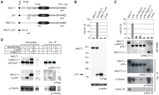 MALT1 p76 activates NF-κB signalling in 293T cells.A) Features of Flag-tagged MALT1, p76, MALT1-C and MALT1-p19. Numbers indicate the start and stop AA position for p76, MALT1-C and MALT1-p19 relative to the MALT1 protein sequence (Refseq NP_006776.1, 824 AA). B-C) NF-κB-reporter assays of 293T cells transiently expressing MALT1, mp-MALT1, MALT1-p19, p76 and mutants or MALT1-C. NF-κB-dependent luciferase activity is shown as fold induction of vector-transfected cells and represents the mean +/- S.D. (n = 3). Immunoblot of cell lysates with a-Flag – a-β-actin shows equal expression/loading of the different MALT1 constructs (B) and a-MALT1-C (C) shows equal expression of the different MALT1 constructs. Bottom (C): streptavidin pull-down (bio-IP) of MALT1, p76 or MALT1-C, transiently expressed in 293T cells, and immunoblotted with a-MALT1C, a-TRAF6 and a-BCL10 antibodies. e-MALT1, e-TRAF6, e-BCL10: endogenous MALT1, TRAF6 and BCL10. D) immunoblot of bio-IPs of Avi-tagged Ub-p76 expressed together with Flag-p76 or Flag MALT1 with a-MALT1-C, a-Flag and a-TRAF6. * indicate non-specific bands.