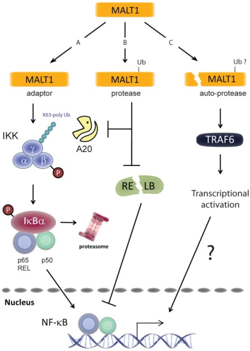 Model for MALT1 functions in TCR-mediated NF-κB1 activation.A) The adaptor function of MALT1 is required for TCR-mediated activation of the IKK complex. Via formation of the CARMA1/BCL10/MALT1 complex MALT1 controls TRAF6-mediated K63 poly-ubiquitination of the gamma subunit of the IKK complex. Concurrent phosphorylation of IKKβ activates the IKK complex that phosphorylates the NF-κB inhibitor IκB, induces its proteasomal degradation and allows nuclear translocation of NF-κB complexes consisting of p50, p65 and REL. B) Parallel induction of MALT1 protease activity prevents de-ubiquitination of IKKγ and possibly other substrates via A20 cleavage and facilitates DNA binding of p65- or REL-containing NF-κB complexes via RELB cleavage. C) MALT1 auto-proteolysis represents a third level of MALT1 regulation that controls in a TRAF6-dependent and BCL10-independent manner the transcriptional activation of nuclear NF-κB complexes via a yet unknown mechanism.