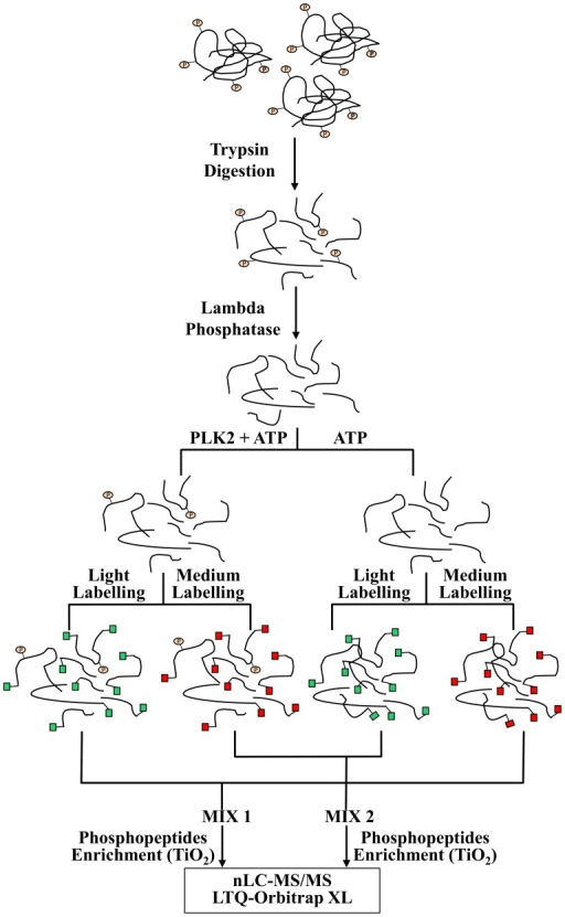 Workflow for PLK2 peptide substrate identification.