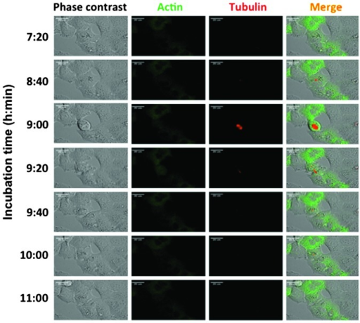 Observations of fluorescently-labeled tubulin and actin. Red fluorescent protein-tubulin and green fluorescent protein-actin were introduced into the A549 cells. The cells were observed using an LCV110 system. Representative images of control A549 cells are shown. The duration of incubation is presented by the horizontal axis (magnification, ×250).