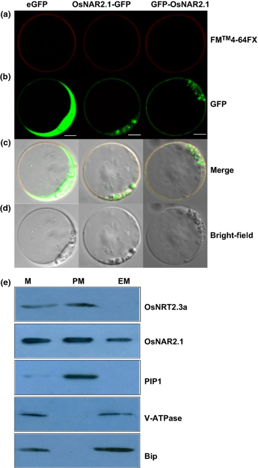 Localization of OsNAR2.1 in rice protoplasts. (a) FM4-64FX dye image; the red fluorescence reflects the position of the plasma membrane (PM). (b) Green fluorescent protein (GFP) fluorescence after expressing NAR2.1-GFP and GFP-NAR2.1 fusion proteins in rice blade protoplasts. (c) Rice protoplasts expressing FM4-64FX (red) and GFP (green) fluorescence. (d) Rice protoplasts in bright field without exciting light. Column 1 shows the protoplasts expressing 35S: GFP was used as a control. Column 2 shows the protoplasts expressing rice OsNAR2.1-GFP fusion protein with FM4-64FX dye. Column 3 shows the protoplasts expressing rice GFP-OsNAR2.1 fusion protein with FM4-64FX dye. FM4-64FX is a membrane-selective fluorescent vital dye. Bars, 10 μm. (e) Immunoblot for OsNRT2.3a, OsNAR2.1, PIP1 (PM marker), V-ATPase (vacuolar marker), and Bip (endoplasmic reticulum (ER) marker) in cell membranes separated from roots of two-month-old rice seedlings. Proteins from microsomes (M), PM and endomembranes (EM) were analyzed on 10% SDS-PAGE gels (50 μg of protein/lane).