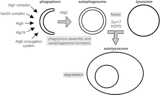 The process and molecular mechanisms of autophagy. The sequential and coordinated action of Atg protein complexes mediates the formation of phagophores and double-membrane autophagosomes. Fusion of autophagosomes with lysosomes (or with late endosomes) requires a Syntaxin 17-containing SNARE complex and the HOPS tethering complex. Autophagic cargo is degraded in autolysosomes, which is followed by recycling of degradation products in synthetic and energy producing pathways.