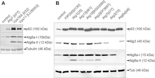 Western blot analysis of autophagy. (A) The autophagic cargo p62 accumulates in starved larvae lacking the core autophagy gene Atg7, and also in animals that are mutant for Vps16A or Vps11, encoding subunits of the HOPS tethering complex. Autophagosome-associated, lipidated Atg8a-II is missing in Atg7 mutants but accumulates in HOPS loss-of-function (mutant for Vps16A or Vps11) larvae, as this tethering complex is required for the fusion of autophagosomes with lysosomes (compare Atg8a-II levels to tubulin in controls and mutants, respectively). (B) Various Atg mutants all accumulate p62, whereas the levels of Atg8a-II are increased in starved larvae lacking Atg1, Atg13, Atg18 and Atg2. Atg7 and Atg3 encode the E1 and E2 enzymes required for Atg8a lipidation, respectively, so the generation of Atg8a-II is blocked in these mutants. Both forms of Atg8a are missing in Atg8a mutants, as expected.