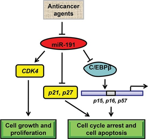 Schematic model of miR-191-mediated promotion of tumorigencity of colorectal cancer cellsIn colorectal cancer cells, various anticancer drugs regulate the expression of miR-191. miR-191 causes a number of genes to respond and adapt. On one hand, miR-191 induces the expression of CDK4 to increase cell growth. On the other hand, miR-191 suppresses the level of C/EBPβ, a tumor suppressor gene functions as a transcriptional activator of p15, p16 and p57, which are the key regulators of cell cycle and cell survival. As a result, miR-191 induces the cell cycle progression and tumor cell resistance to various stimuli.