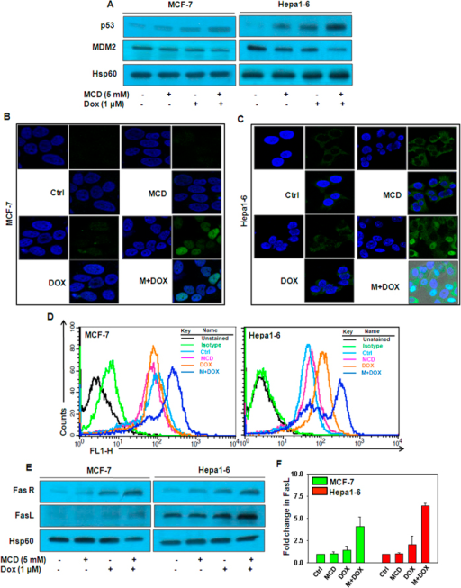 MCD potentiates DOX-induced death of MCF-7 and Hepa1–6 cells in a p53-dependent manner by upregulating FasR/FasL.MCF-7 and Hepa1–6 cells were treated with indicated concentration of DOX together with MCD for 24 h. (A) Protein levels of p53 and MDM2 were examined by western blotting analysis. Hsp60 served as internal control was used a loading control. (B) MCF-7 and (C) Hepa1–6 cells were processed for immunostaining to detect p53 expression and its nuclear localization by immunofluorescence confocal microscopy. (D) FasR membrane staining was performed by flow cytometry. (E) Protein levels of FasR and FasL were examined by western blotting analysis and Hsp60 was used a loading control. (F) Sandwich ELISA for quantitation of secreted FasL from culture medium of MCF-7 and Hepa1–6 cells. Bar graph represents the Mean ± SD of an experiment done in triplicate. Cropped blots are used in the main figure and full length blots are included in Supplementary figure 3.