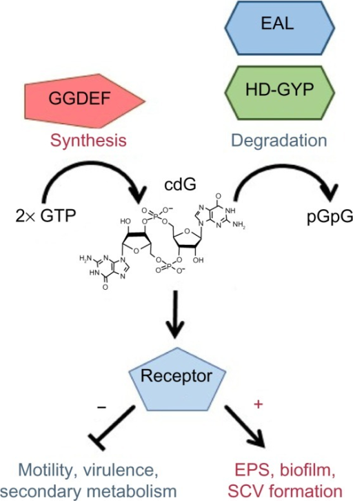 cdG signaling.Notes: cdG is produced from GTP by GGDEF proteins and degraded by EAL and HD-GYP phosphodiesterases. cdG binds to a variety of different receptors, suppressing motility and virulence and promoting EPS production, biofilm formation, and the SCV phenotype.Abbreviations: cdG, cyclic-di-GMP; EPS, extracellular polysaccharides; GTP, guanosine triphosphate; pGpG, 5′-phosphoguanylyl-(3′–5′)-guanosineguanosine; SCV, small colony variant.