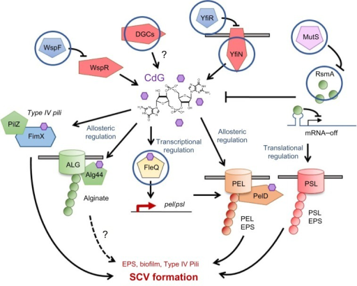 Mutational routes to SCV formation.Notes: The diagram shows part of the cdG/RsmA signaling network in Pseudomonas aeruginosa. Hypothetical SCV-inducing mutations in uncharacterized DGCs are included. Signaling systems where mutations have been implicated in clinically relevant SCV formation are circled. Activating signals are denoted with arrows, suppression with bars. Purple hexagons represent cdG molecules. Pathways where the link to SCV is hypothetical or uncertain are marked with question marks (?). The dashed arrow refers to a pathway where the relationship to clinical SCV formation is currently unclear.Abbreviations: SCV, small colony variant; DGC, diguanylate cyclase.