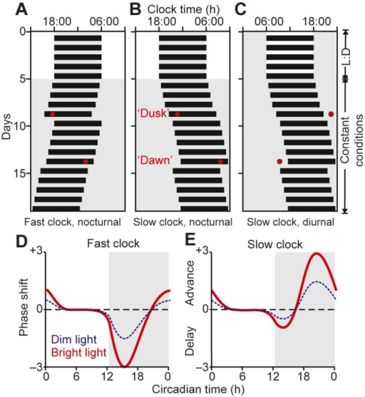 Temporal gating and integration in the circadian system. (A–C) Schematic 'actograms' showing daily activity (black bars) for nocturnal (A,B) or diurnal (C) mammals under a light:dark (L:D) cycle and following transfer to constant conditions to reveal the biological clock's intrinsic period; here either shorter (A; 23.5 h) or longer (B,C; 24.5 h) than 24 h. In each case, light pulses (red circles) presented around the animal's subjective evening ('dusk') delay the onset of activity on subsequent days, whereas light pulses presented during the subjective morning ('dawn') advance activity onset. (D,E) Phase-response curves (PRCs) quantifying the change in activity onset as a function of the circadian time at which light is detected for bright and dim light (circadian time 12 designated as the onset of subjective night). Note that PRCs for individuals with fast clocks are characterised by large delay and small advance portions (D) and vice versa for individuals with slow internal clocks (E). As such, organisms with fast clocks primarily use dusk light for entrainment (because these require a daily phase delay to bring their endogenous period up to that of the 24 h solar day), whereas organisms with slow clocks primarily use dawn light (because these require a daily advance to maintain 24 h rhythms). In all plots, periods of light are indicated by white backgrounds and periods of darkness are indicated by grey backgrounds.