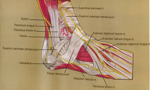 superficial fibular (peroneal) nerve; superior extensor | Open-i