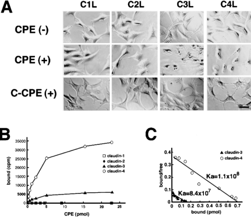 Specific interaction of Clostridium perfringens enterotoxin (CPE) with claudin-3 and -4. (A) L transfectants expressing claudin-1 (C1L), claudin-2 (C2L), claudin-3 (C3L), or claudin-4 (C4L) were cultured in the absence (CPE(−)) or presence of 500 ng/ml full-length CPE (CPE(+)) or 2.5 μg/ml COOH-terminal half fragment of CPE (C-CPE(+)). Phase-contrast microscopic images taken at 1 h after incubation revealed that CPE, but not C-CPE, showed cytotoxicity only to C3L and C4L cells. Bar, 20 μm. (B) L transfectants (1 × 105 cells) expressing claudin-1, -2, -3, or -4 were incubated with various concentration of 125I-CPE, and binding was determined as reported previously (Katahira et al. 1997a). The binding of 125I-CPE to claudin-1 or -2 was negligible. Each symbol represents mean value (n = 6). (C) Scatchard plot of the specific binding of 125I-CPE to L transfectants expressing claudin-3 (closed triangles; Ka = 8.4 × 107 M−1) or claudin-4 (open circles; Ka = 1.1 × 108 M−1).
