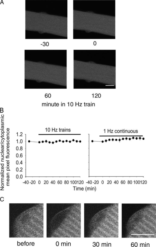 The subcellular distribution of CaM-YFP was not changed by 10- or 1-Hz electrical stimulation. (A) A typical living fiber expressing CaM-YFP is shown for 30 min (−30 and 0) before stimulation and 60 and 120 min after repetitive stimulation with 10-Hz trains. In resting fibers, CaM-YFP was present in the cytoplasm as well as the nucleus. (B) The fluorescence signals from both the nucleus and the cytoplasm were quantitated. Data are presented as the ratio of the average fluorescence intensity per pixel from the nucleus relative to the cytoplasm. Neither 10-Hz train stimulation (left) for 2 h nor 1-Hz continuous stimulation (right) resulted in any subcellular redistribution of CaM-YFP. (C) FRAP of CaM-YFP was performed in the nuclear area of a muscle fiber. Shown is a nucleus before photobleaching, immediately after photobleaching, and after 30 and 60 min of recovery. The entire nuclear region was selectively bleached. Bars, 10 μm.