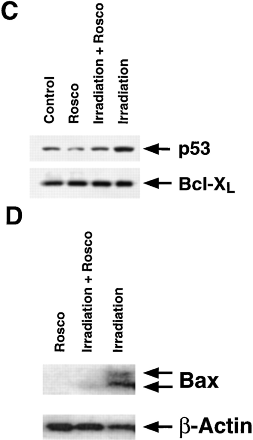 P53 is a substrate for Cdk2 activity. (A) Phosphorylation of p53 by Cdk2. p53 phosphorylation was determined after γ-irradiation (500 rads), dexamethasone treatment  (1 μM), or no treatment (Control). Thymocytes were cultured and harvested as described in the legend to Fig. 1. Cdk2  was immunoprecipitated, and Cdk2 activity was determined  using recombinant human p53 as the substrate. The levels of  phosphorylated p53 (top), p53 protein (middle), and Cdk2  protein (bottom) are shown. (B) Coimmunoprecipitation of  p53 and Cdk2. Thymocytes were harvested 2 h after γ-irradiation (500 rads) or after 2 h culture without a death stimulus (Control). Western blot analysis was performed after immunoprecipitation (IP) using an anti-Cdk2 Ab and blotting with anti-p53 and anti-Cdk2.  Similar results were obtained using p53 immunoprecipitations. One result representative of three independent experiments is shown. (C) Levels of p53 protein. Thymocytes were cultured for 2 h after γ-irradiation  (500 rads) or the absence of a death stimulus (Control) in the presence or absence of roscovitine (50 μM,  Rosco). Cells were lysed, and extracts were analyzed by Western blotting using anti-p53 and anti–Bcl-XL  Abs. One result representative of three independent experiments is shown. (D) Induction of Bax mRNA.  Thymocytes were cultured as described in B and harvested after 3 h. 10 μg total RNA was Northern blotted and hybridized to probes for both Bax and β-actin (loading control). Hybridization with the Bax probe  shows two alternatively spliced RNA transcripts of 1.5 and 1.0 kb. The increase in Bax mRNA induced by  γ-irradiation is abolished in the presence of roscovitine (50 μM).