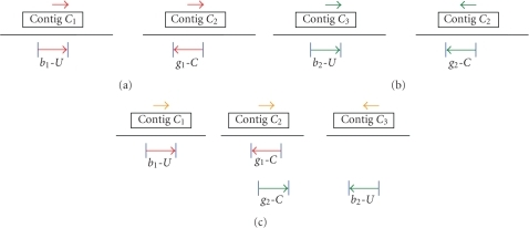 Determining the relative orientations of contigs using mate-pair information. (a): b1 and g1 reads determine the relative orientation of contigs C1 and C2; (b): b2 and g2 reads determine the relative orientations of contigs C2 and C3; and (c): the relative orientations of contigs C1, C2, and C3 are determined by rotating the scaffold in Figure 2(b).