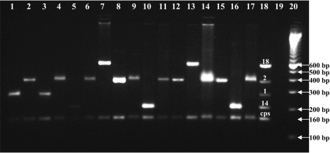 Amplified serotype (1, 2, 14 & 18) genome from culture negative CSF specimens by 1st reaction of multiplex PCR scheme.Lane 1–10 & 14–17: Culture negative latex Positive CSF, Lane 11–13: Culture negative ICT Positive CSF, Lane 18: Positive Control Containing amplified cps gene and genome of 4 known isolates of reaction 1, L 19: Reagent control–reagents devoid template, L 20: 100bp ladder.