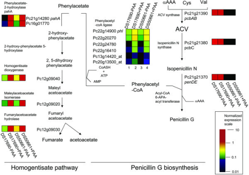 Detoxification of phenylacetic acid via incorporation into penicillinG or the homogentisate pathway. Those genes (putatively) related to penicillin, biosynthesis and phenylacetate catabolism are depicted. Total RNA was obtained from P. chrysogenum strains DS17690 and DS50661, grown in the presence and absence of phenylacetic acid (PAA) in independent glucose-chemostat cultures at D = 0.03 h-1 and hybridized to Affymetrix GeneChip® microarrays. The color bar indicates the range of the mean normalized transcript level value per gene. αAAA: α-aminoadipate, Cys: cysteine and Val: valine.