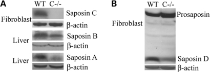 Saposin protein expression. (A) Saposin C was not detected in the fibroblasts using anti-mouse saposin C antibody. Saposin A and B were detected by anti-mouse saposin A and B antibodies, respectively. (B) Prosaposin and saposin D were detected with anti-mouse saposin D antibody. Prosaposin levels in saposin C−/− fibroblasts were slightly increased compared to the WT control. β-Actin was used as a loading control.