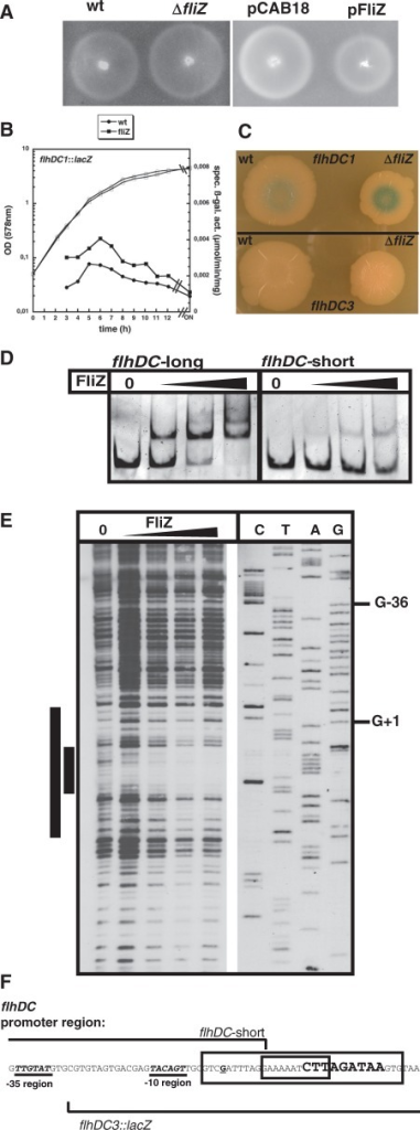 FliZ directly affects motility by repressing flhDC expression. (A) Motility of strain W3110 (wt) and its derivatives carrying ΔfliZ, or the low copy plasmids pCAB18 (vector control) or pFliZ was tested at 28°C. (B) Expression of a single-copy transcriptional lacZ fusion to the flhDC promoter (flhDC1::lacZ) was determined in fliZ+ and fliZ cells growing in LB medium at 28°C. (C) Expression in wild-type (wt) and ΔfliZ cells of the same fusion (flhDC1::lacZ) and of a fusion (flhDC3::lacZ) that does not include the full vegetative flhDC promoter but carries the '−10 σS-promoter-like element' (F); cells were grown on LB/agar plates without salt at 28°C for 7 days. (D) Binding of FliZ to DNA fragments with (flhDC-long) or without (flhDC-short) the '−10 σS-promoter-like element' downstream of the flhDC transcriptional start site was compared by EMSA (80, 160, 320 nM FliZ). (E) The FliZ-binding site in the flhDC upstream regulatory region was determined by non-radioactive DNaseI footprint analysis and the binding site was mapped to the promoter sequence (F). A core binding site and potential upstream and downstream extensions are indicated by smaller and larger bars (E) and boxes (F). The transcriptional start site (62) is printed as a bold, underlined letter and the '−10 σS-promoter-like element' downstream of the flhDC promoter is printed in bold, larger letters. The start of the region present in flhDC3::lacZ and the end of the flhDC-short DNA fragment used in (D) are indicated.