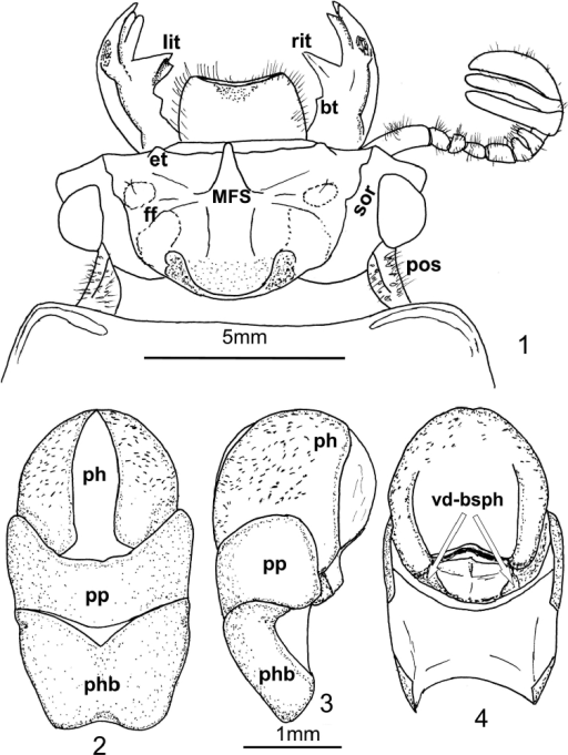 Oileus gasparilomi sp. n., holotype 1 head lit left internal teeth of mandible rit right internal teeth of mandible bt basal tubercle of mandible et external tubercle MFS Median Frontal Structure sor supraorbital ridge ff frontal fossae pos postocular sulcus 2–4 aedeagus 2 ventral view 3 lateral view 4  dorsal view ph phallus pp parameres phb phallobase vd-bsph ventrodorsal basal sclerotizations of phallus