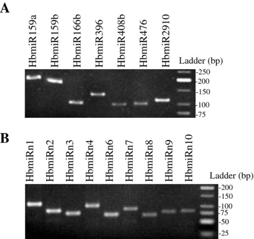 Gel electrophoresis of stem-loop RT-PCR. A) Stem-loop RT-PCR from seven precursors of conserved miRNA family. B) Stem-loop RT-PCR from nine precursors of putatively new miRNAs.