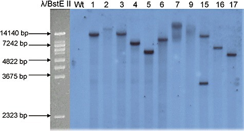 Southern blot analysis of L. bicolor transgenic and wild‐type strains. Total DNA (7 µg) was digested with BamHI which cuts once within the T‐DNA, blotted and probed with the ∼1 kb amp gene fragment. From left to right: molecular size marker λBstE II, L. bicolor wild type (Wt) and transgenic strains.