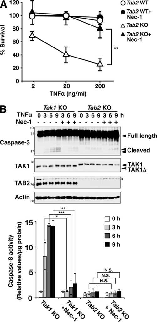 TNF-induced cell death in Tab2-deficient cells is rescued by inhibition of RIPK1. (A) Tab2 WT and Tab2 KO fibroblasts were pretreated with either vehicle (DMSO) or Nec-1 (30 µM) for 1 h, and then treated with 2, 20, or 200 ng/ml of TNF for 24 h. Cells attached on the plates were determined by the crystal violet assay. Values of unstimulated fibroblasts were set at 100%. The x axis is a log scale (three independent experiments; mean ± SD; **, P = 0.0066). (B) Tak1 KO and Tab2 KO fibroblasts were pretreated with vehicle (DMSO) or Nec-1 (30 µM) for 1 h and stimulated with TNF (20 ng/ml for Tak1 fibroblasts or 200 ng/ml for Tab2 fibroblasts) for 0, 3, 6, and 9 h. Caspase-3 was analyzed by immunoblotting. Immunoblots of TAK1, TAB2, and β-actin are shown as controls. Asterisk indicates a nonspecific band. Caspase-8 activity in cellular extracts from samples treated with the same procedure was measured. Data are shown as caspase-8 activity relative to that in unstimulated Tak1 KO samples (three independent experiments; mean ± SD; *, P < 0.05; **, P < 0.01; ***, P < 0.001; N.S., not significant; P = 0.012, P = 0.00016, P = 0.0012, P = 0.97, P = 0.99, and P = 0.33 from the left).