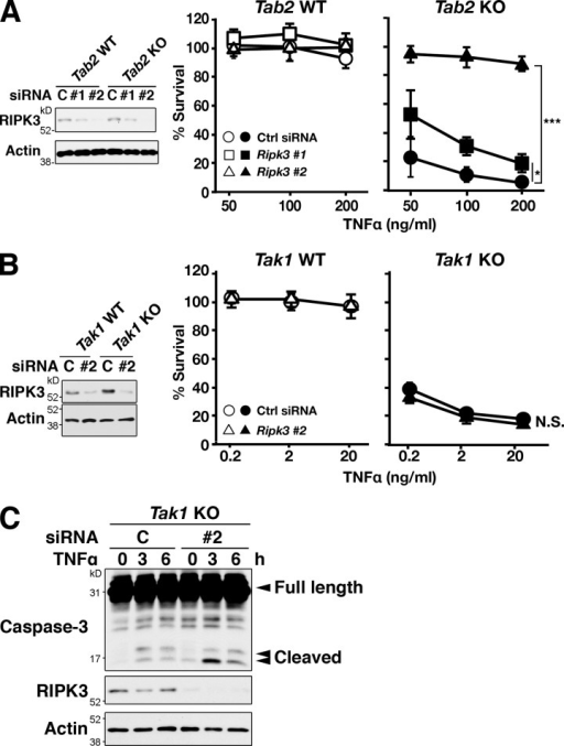 Ripk3 knockdown rescues TNF-induced cell death in Tab2-deficient but not Tak1-deficient fibroblasts. (A) Tab2 WT and Tab2 KO fibroblasts were transfected with Ripk3 siRNA #1 and #2 and stimulated with 50, 100, or 200 ng/ml of TNF at 72 h after transfection. The protein levels of RIPK3 were determined by immunoblotting. Cell viability was determined at 24 h after TNF stimulation by the crystal violet assay. Values of unstimulated fibroblasts were set at 100%. The x axis is a log scale (three independent experiments; mean ± SD; ***, P < 0.001; P = 0.026 and P = 0.000024 from the bottom). (B) Tak1 WT and Tak1 KO fibroblasts were transfected with Ripk3 siRNA #2, and stimulated with 0.2, 2, or 20 ng/ml of TNF at 72 h after transfection. Cell viability was determined at 24 h after TNF stimulation by the crystal violet assay. Values of unstimulated fibroblasts were set at 100%. The x axis is a log scale (three independent experiments; mean ± SD; N.S., not significant; P = 0.99). (C) Tak1 KO fibroblasts were transfected with Ripk3 siRNA #2, and stimulated with 20 ng/ml TNF at 72 h after transfection. Caspase-3 was analyzed by immunoblotting. Immunoblots of RIPK3 and β-actin are shown as controls.