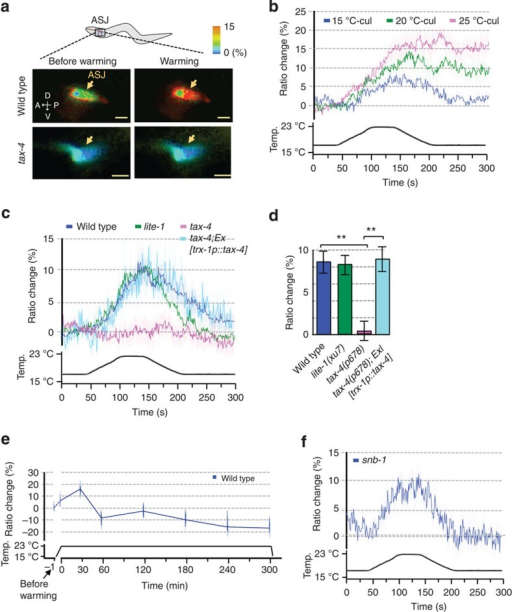Neural activity of ASJ sensory neuron with temperature stimuli.(a) Wild type and mutant expressing yellow cameleon driven by trx-1 promoter, trx-1p::yc3.60 (pTOM13), were tested by calcium imaging. Representative fluorescence resonance energy transfer signal in ASJ of wild type or tax-4 mutant cultivated at 15 °C when worms were subjected to temperature changes. A schematic diagram of an ASJ in head, and corresponding pseudo colour images depicting fluorescence ratio of cameleon before and during temperature change. Arrows, indicate ASJ cell body. Scale bar, 10 μm. (b,c,f) In vivo calcium imaging of ASJ from wild type cultivated at each temperature (b), mutants (c,f). Relative increase or decrease in the intracellular Ca2+ concentration was measured as an increase or decrease in yellow fluorescent protein/cyan fluorescent proteins fluorescence ratio of the cameleon (ratio change) during temperature changes. Temperature changes (ranging from 17–23 °C) with time are shown at the bottom of the graph. Calcium concentrations in ASJ of wild type change following temperature stimuli, which were observed in animals cultivated at different temperatures (b). Calcium concentration changes responding to temperature shifts were not observed in tax-4(p678) (c). lite-1 and tax-4; Ex[trx-1p::tax-4], which is a tax-4 mutant with specifically expressing tax-4 cDNA in ASJ, could respond to temperature changes (c). snb-1 (md247) mutants also responded (f). Each graph represents average response to temperature stimuli (b,c,f). n=12–17. (d) Bar graph showing average ratio change during 20 s from 120 to 140 s of the experiment indicated in (c). Colour key for bar graph is the same as that for the corresponding response curve in (c). (e) Calcium imaging of ASJ in wild type during longer times. At 30 min after temperature shift, intracellular Ca2+ concentration in ASJ was at its maximum, after which a decrease was observed and stabilized. Fluorescence ratio was measured at −1, 0, 30, 60, 120, 180, 240 and 300 min after temperature change. At each time point, fluorescence signal of cameleon was detected for 60 s. Two Scale bars, −1 to 0 min and 0 to 300 min, are shown on the horizontal line. The data were sequentially measured in chronological order using individual animals. n=13. Error bars indicate standard error of the mean. Analysis of variance followed by Dunnet post-hoc test was used for multiple comparisons. **P<0.01.