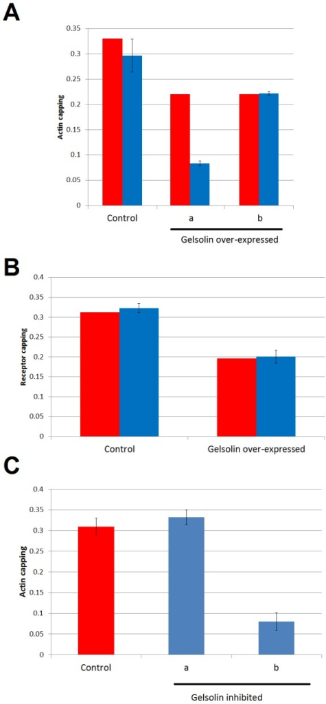 "Comparison of the model predictions for two alternative roles of gelsolin in the cap formation.Red bars represent the experimental measurements of actin capping in a control situation or after over-expressing gelsolin. Blue bars represent the model prediction with the standard deviation of all solutions selected (see Material and Methods). A. A set of scenarios is evaluated in the model assuming different actin capping influences of gelsolin. In ""a"" K7 was increased by 50%, assuming that gelsolin has a negative effect on actin capping. In ""b"", K6 was increased to mimic a gelsolin activation on the actin capping by increasing the actin remodeling dynamics. B. Model verification of scenario ""b"" shown in panel A. The measured and the predicted maximum peak of the capping of receptors on the gelsolin over-expressed cell lines are shown. C. In ""a"" K6, the parameter that models gelsolin stimulation of actin capping, takes the value of 0.75 times the value in Control; in ""b"" this figure is 0.5 times."