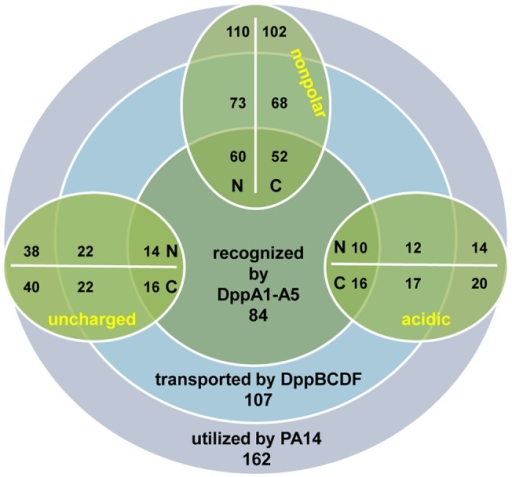 Global utilization pattern of dipeptides by PA14, the dipeptide transporter DppBCDF and the SBPs DppA1–A5.The rings show the total number of dipeptides utilized by the wild-type strain PA14 (outer purple ring), transported by the dipeptide transporter system DppBCDF (middle blue ring), and recognized by the substrate-binding proteins (inner dark green ring). The oval rings (green) present different pools of dipeptides (nonpolar, acidic, uncharged) containing a specific amino acid side-chain either at the N- or C-terminal end of the dipeptide (see Table 2). Dipeptides containing positively charged amino acid residues were excluded from the analysis (see Materials and Methods).