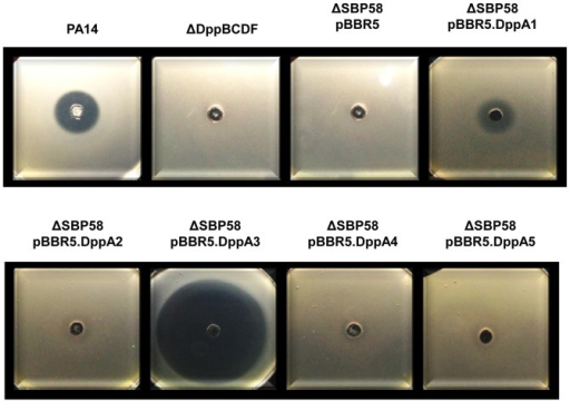 Growth inhibition of PA14, the dipeptide transporter mutant, the SBP penta mutant and strains of the SBP penta mutant complemented with individual SBPs by phaseolotoxin.