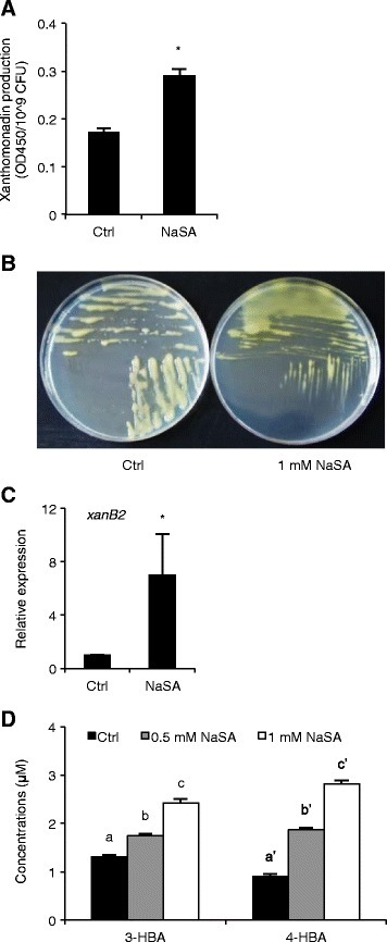 NaSA induces the DF QS circuit ofXoowith resultant accumulation of xanthomonadin. (A), Effect of 1 mM NaSA on xanthomonadin production of XKK12 WT (pPIP122) grown in PY broth. Data are means ± SE of three plates. Asterisks indicate statistically significant differences compared to the control (T-test: n = 3; α = 0.05). (B), Yellow pigmentation of XKK12 WT (pPIP122) grown on PSA plates containing 0 (left) or 1 mM NaSA (right). (C), Expression of xanthomonadin and DF biosynthesis gene xanB2 in XKK12 WT (pPIP122) grown in PY broth containing 0 or 1 mM NaSA. Data are means ± SE of two technical and two biological experiments. Asterisks indicate statistically significant differences compared to the control (T-test: n = 4; α = 0.05). (D), Quantification of 3-HBA (DF) and 4-HBA produced by XKK12 WT (pPIP122) grown in PY broth supplemented or not with 0.5 or 1 mM NaSA. Data are means ± SE of two technical and two biological replicates. Different letters indicate statistically significant differences (Tukey: n = 4; α = 0.05).