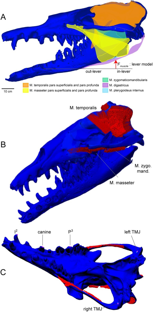 Jaw muscles of Basilosaurus isis and constraints for FEA.A. Jaw muscles of B. isis and muscle vector and moment arms for leverage-based force calculation. B. Adductors (red arrows) mapped onto a CT-based finite element model of the cranium of Basilosaurus isis WH-74, including the dentaries. C. Constraints for finite element analyses. In the all-muscles active analysis, the cranium was fully constrained at the left and right temporomandibular joints (TMJ), and tooth constraints were applied in respective bite analyses. In the posterior shear analysis, the only active muscles are the posterior temporalis, and only P3 is constrained.