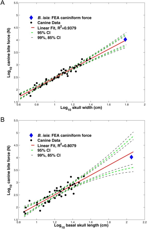 Regressions of canine bite force against skull width and basal skull length in carnivorous mammals.(A) Regressions of log10-transformed canine bite forces against log10 skull width and (B) regressions of log10-transformed canine bite forces against log10 basal skull length, in carnivorous mammals. Canine bite force values are compiled from Wroe et al. (2005), and listed in Table 3. Isometric specific tension is 30 N/cm2. Basilosaurus isis (blue diamond) has a slightly greater FEA-estimated bite force at the caniniform I2 (at the same anterior position as the canine in most carnivorous mammals) than expected from the skull width equation (A), but lower force than expected from its skull length (B). Note that these values fall well within 95% confidence intervals for the entire sample, suggesting that B. isis did not have exceptionally high or low bite force compared with that expected of a mammal with its skull dimensions.