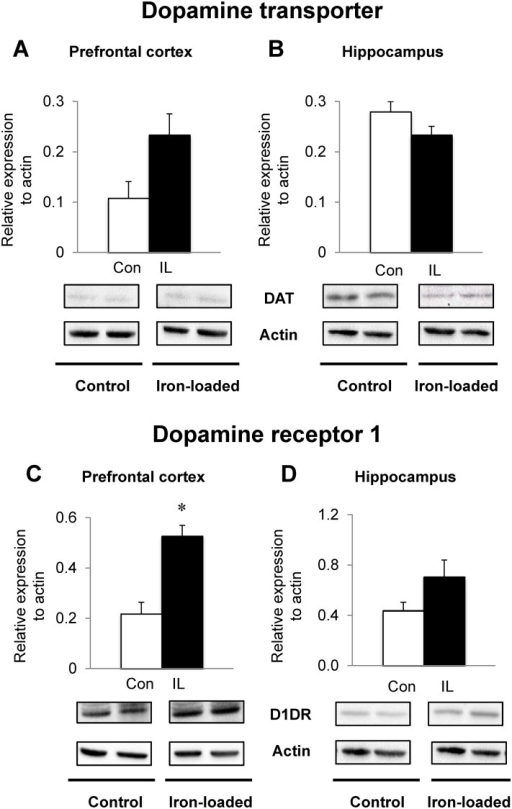 Effect of dietary iron loading on the expression of dopamine transporters and dopamine receptors in young rat brain.Prefrontal cortex (A and C) and hippocampus (B and D) were collected from rats fed iron-loading or control diet and homogenized for western blot analysis to determine the expression levels of dopamine transporter (A and B) or dopamine D1 receptor (C and D). Relative intensities of protein bands normalized to actin were determined using Image Lab (version 4.1). Empty and closed bars represent control (Con) and iron-loaded (IL) rats, respectively. Data were presented as means ± SEM (n = 4 per group) and were analyzed using two-sample t-test. * P < 0.05.