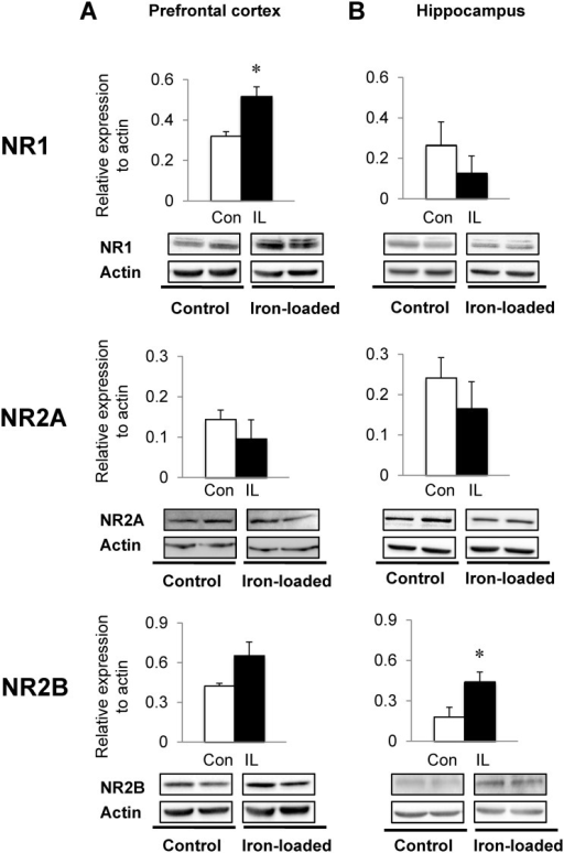 Effect of dietary iron loading on the expression of glutamate NMDA receptors in young rat brain.Prefrontal cortex (A) and hippocampus (B) were collected from rats fed iron-loading or control diet and homogenized for western blot analysis to determine the expression levels of subunits of the glutamate NMDA receptor: NR1, NR2A and NR2B. Relative intensities of protein bands normalized to actin were determined using Image Lab. Empty and closed bars represent control (Con) and iron-loaded (IL) rats, respectively. Data were presented as means ± SEM (n = 4 per group) and were analyzed using two-sample t-test. * P < 0.05.
