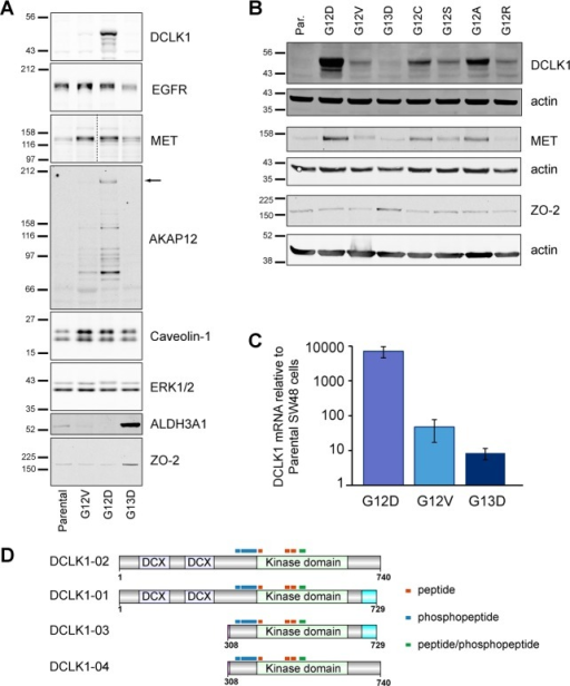 Increased DCLK1 expression is observed across a panelof codon12 mutant KRAS isogenic cell lines. (A) Increased expression of selectedhits from our SILAC proteome analysis were confirmed using Westernblotting. ERK1/2 is an example of a responsive controls. (B) Westernblotting of a wider panel of isogenic SW48 cells, including linesnot directly analyzed by proteomics, shows that DCLK1 and MET followthe same patterns of codon 12 specific up-regulation whereas ZO-2is coupled to KRAS G13D signaling. (C) QPCR analysis indicates significantup-regulation of DCLK1 isoform 3/4 expression in codon 12 mutant KRAScells. (D) Schematic diagram of DCLK1 isoforms expressed in humanand distribution of peptides observed in our data set indicates thatall of the DCLK1 peptides detected by mass spectrometry are in theC terminus. n ≥ 3 for each panel.