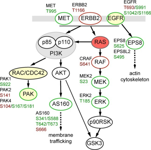 Responses within the local Ras signaling network. Nodesidentifiedin the proteome data set at highlighted in yellow. Phosphosites identifiedin the phosphosite data set are highlighted in red, those displayingat least a 2-fold change versus Parental cells in at least one ofthe KRAS mutant cell lines are highlighted in green.