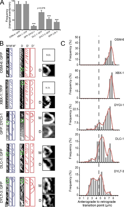 Transport behaviors of dynein subunits in cilia. (A) IFT frequencies of IFT particle and dynein subunits. n = 64–212; mean ± SE (error bars). ***, P ≤ 0.001. (B) Kymographs (left) of DYCI-1, DLC-1, DYLT-3, and XBX-1 in the middle (M) or distal segments (D). M″ and D″ indicate turnaround events. M and D (right) are 4× enlarged images of turnarounds in the green boxes on the left. Horizontal bar, 2 µm; vertical bar, 5 s. (C) Distribution of turnaround events along the cilia. The y axis indicates the percentage of turnaround events at the specific region of cilia among the total turnaround events. n = 58–140. The broken line shows the junction between the middle and distal segments.