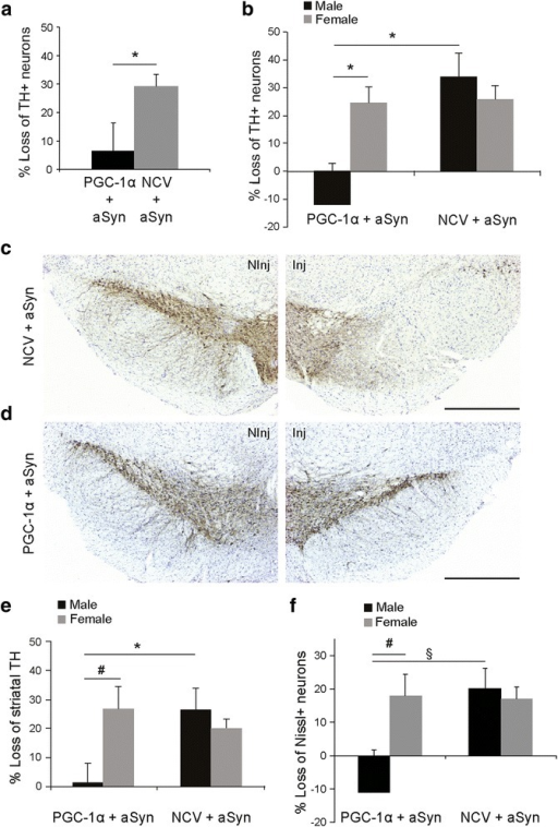 PGC-1α expression protects against aSyn toxicity in the SNpc of male PGC1α-KO mice. PGC1α-KO mice were co-injected with two AAV2/6 vectors encoding for aSyn and PGC-1α (PGC1α + aSyn). The control group is injected with a non-coding vector instead of AAV-PGC-1α (NCV + aSyn). (a) Loss of TH-positive neurons in the SNpc at 6 months post-injection. PGC-1α overexpression induces significant protection against aSyn toxicity. Statistical analysis: Student's t test; PGC1α + aSyn: n = 10; NCV + aSyn: n = 10; *p < 0.05. (b) Analysis according to gender shows that the protective effect of AAV-PGC-1α is specific to male mice. Statistical analysis: two-way ANOVA with Newman-Keuls post-hoc test; PGC1α + aSyn: n = 4 males and 6 females; NCV + aSyn: n = 5 males and 5 females; *p < 0.05. (c,d) Representative photomicrographs showing the loss of TH-positive neurons in the SNpc of NCV + aSyn mice (c), as compared to PGC1α + aSyn mice (d). The non-injected side (NInj) is shown for comparison. Scale bar: 500 μm. (e) Gender-specific analysis reveals significant protection of striatal TH fibers only in male mice PGC1α-KO mice injected with the AAV-PGC-1α vector. Statistical analysis as in (b); *p < 0.05 and #p = 0.058. (f) Stereological gender-specific analysis of the loss of Nissl-positive neurons in the SNpc. Statistical analysis as in (b): # p = 0.070, § p = 0.059.