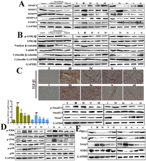 Dioscin ameliorated liver fibrosis by regulating MMPs/TIMPs, and altering Wnt/β-catenin, TGF-β/Smad and MAPK pathways and oxidative stress.(A) Effects of dioscin on the levels of MMP-1, MMP-2, MMP-9, MMP-13 and TIMP-1 from primay rat HSCs and in vivo HSCs isolated from normal, model and dioscin-treated rats. (B) Effects of dioscin on the levels of p-GSK3β, GSK3β, nuclear and cytosolic β-catenin in primay rat HSCs, and in vivo HSCs isolated from normal, model and dioscin-treated rats. (C) Effects of diocsin on expression of TGF-β1 by immunohistochemistry in liver tissue (magnification, 100×), and the levels of p-Smad2/3, Smad2/3 and Smad7 in vivo HSCs isolated from normal, model and dioscin-treated rats. (D) Effects of dioscin on the levels of MAPK phosphorylation in vivo HSCs isolated from normal, model and dioscin-treated rats. (E) Effects of dioscin on the levels of HO-1, Nrf2, keap1 and SOD2 in vivo HSCs isolated from normal, model and dioscin-treated rats. The cropped gels are used and full-length gels are presented in Supplemental Figure S10, S11, S12, S13 and S14. Values are expressed as the means ± SD (n = 3). *p < 0.05, **p < 0.01 vs. model group; ##p < 0.01 vs. normal control group.
